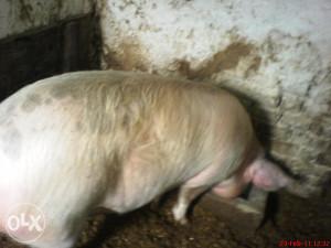 Muska svinja