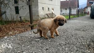 Napušteno štene