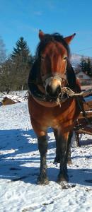 Konj zdrijebac
