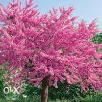 sadnice cercisa judino drvo