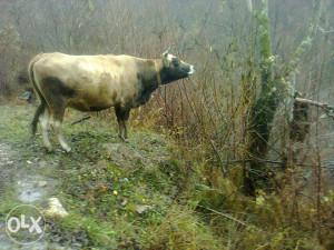 krava medava,stara 8.godina