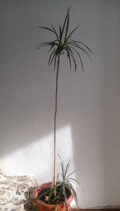 Sobni Cvijet palma