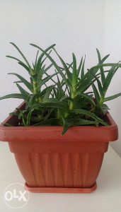 Sobni Cvijet Aloe Vera