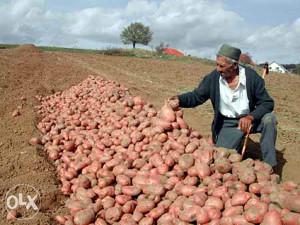 Domaci krompir