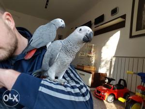 Ručno hranjeni Žako papagaji