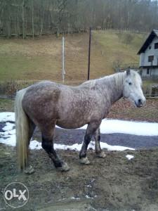Konji konj
