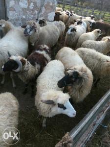 Ovce-jagnjad