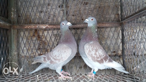 Par fako golubova pismonosa
