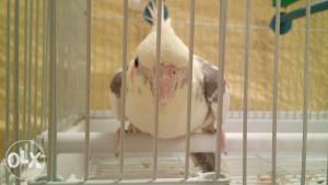 Papiga Nimfa
