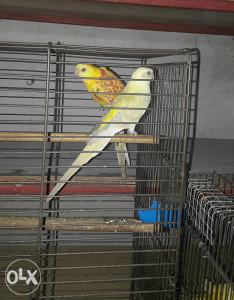 Pjevajuci papagaj (rubino)