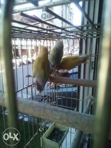 Rozenkolis papagaj
