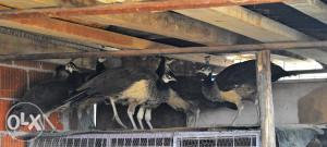 Paunovi za prodaju
