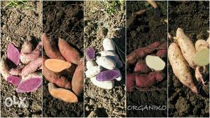 Slatki krompir- BATAT ,sadnice,naran.bijel,ljubičast