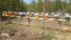 matice - pčele