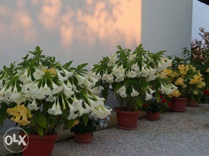Cvijece Andjeoska truba sadnice